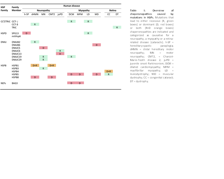 Table I: Overview of chaperonopathies caused by mutations in HSPs.